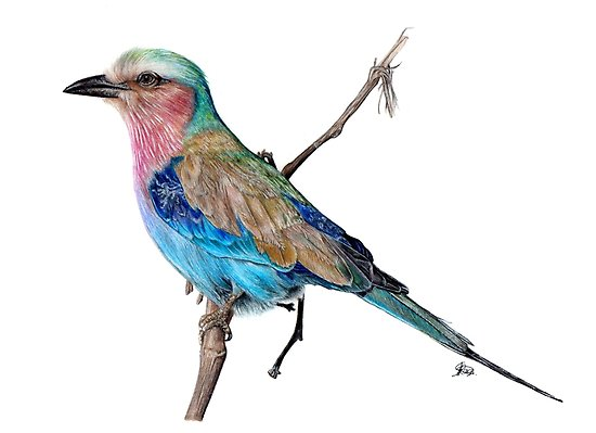 550x399 Realistic Bird Drawing Posters