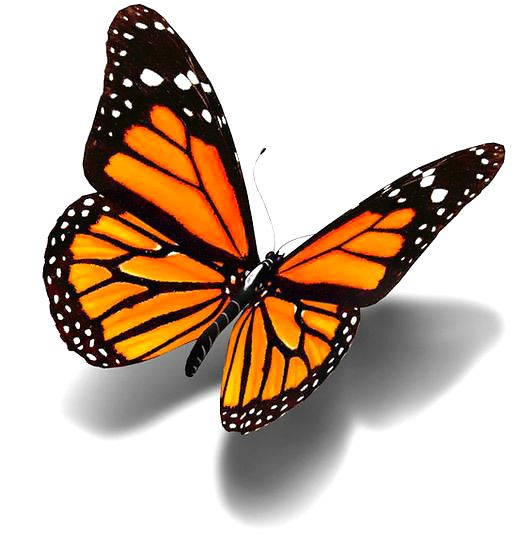 522x538 Monarch Clipart Realistic Frames Illustrations Hd Images