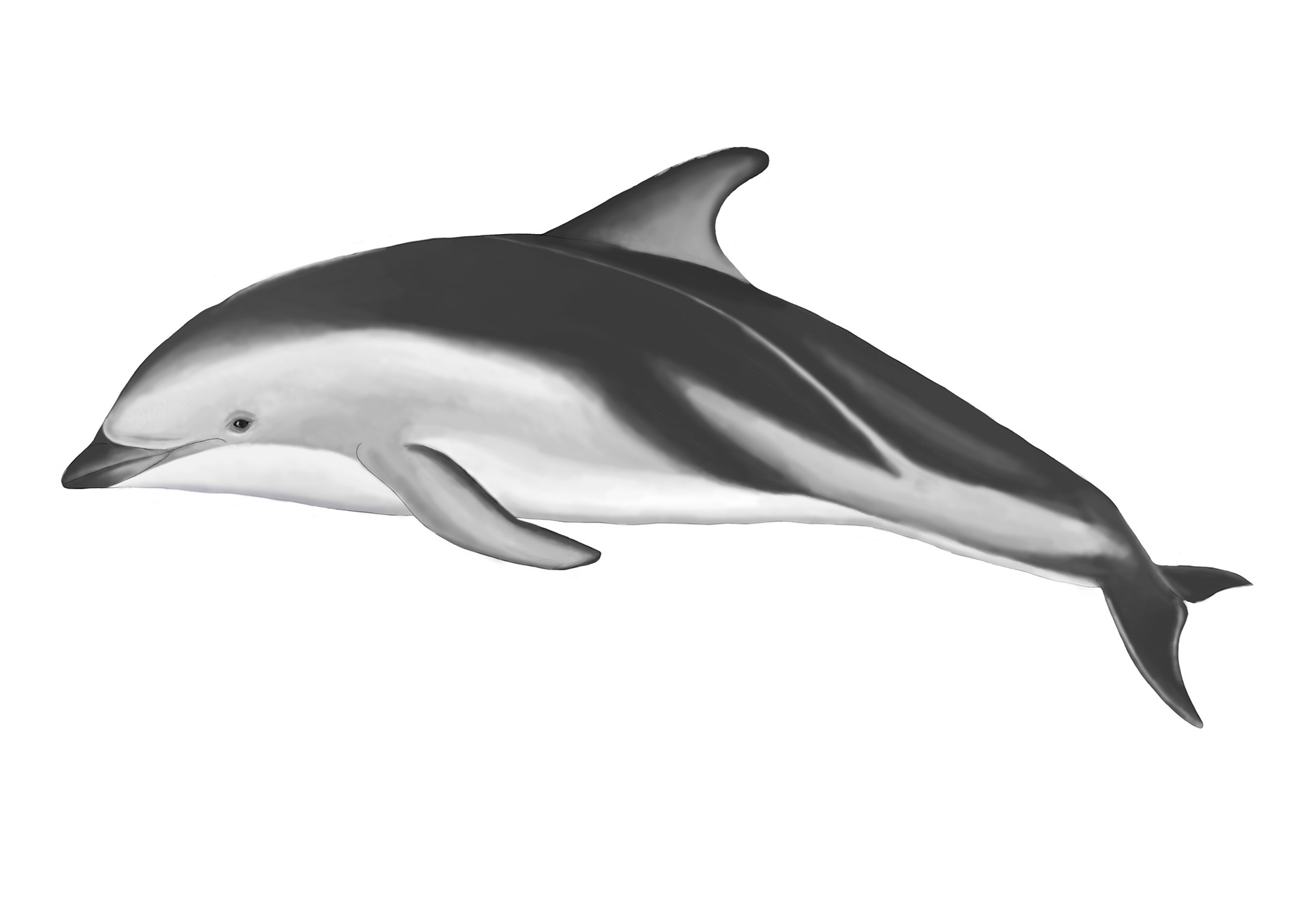 Realistic Dolphin Drawing