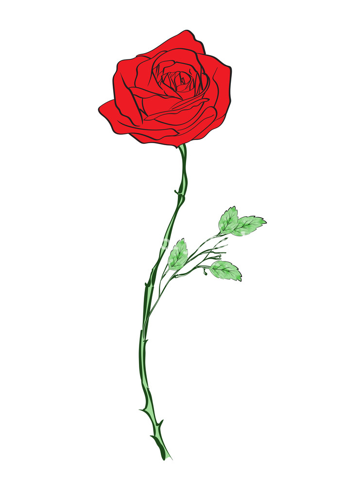 712x1000 Deep Red, Ruby Rose Flower With Green Leaves, Sketch Style Vector