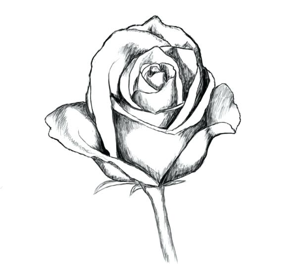 600x533 Drowing Rose Drawing Roses Easy