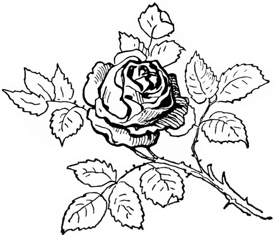 1084x935 Realistic Rose Drawing Black And White Border Free Skull Pencil