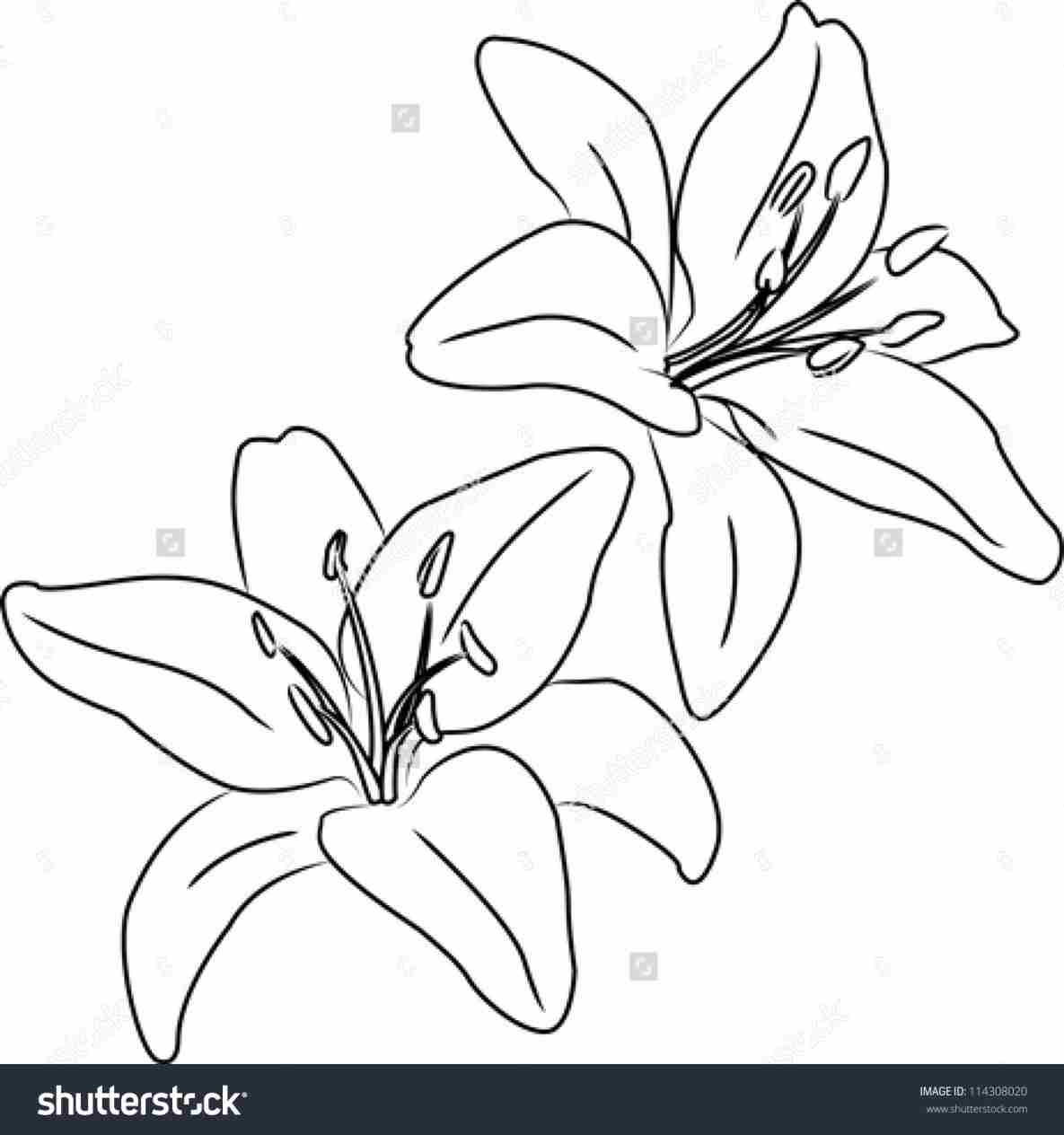 1185x1264 Realistic Lily Flower Drawing Drawing Fine Art