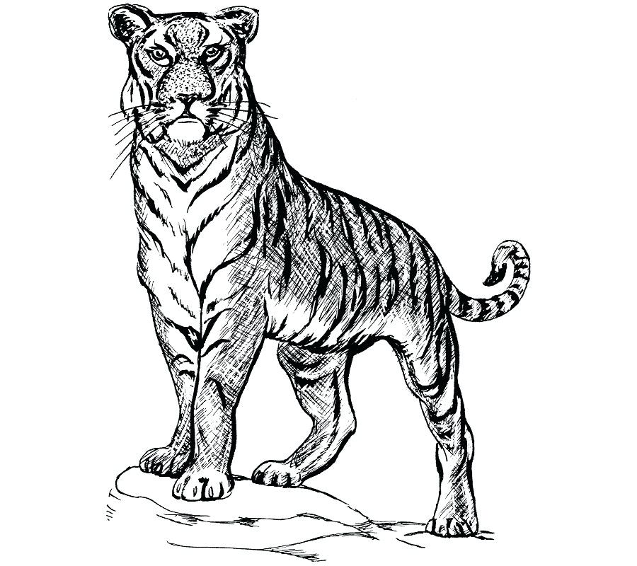 900x800 bengal tiger drawings bengal tiger drawings images