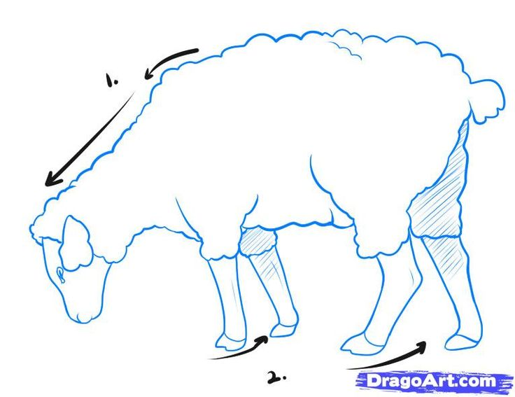 736x567 How To Draw A Sheep, Step