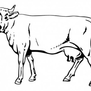 300x300 Realistic Drawing Of Cow Coloring