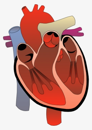 300x425 anatomical heart png, transparent anatomical heart png image free