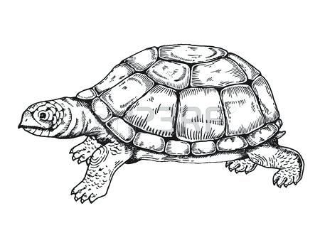 450x338 Box Turtle Drawing Completing The Drawing Ornate Box Turtle