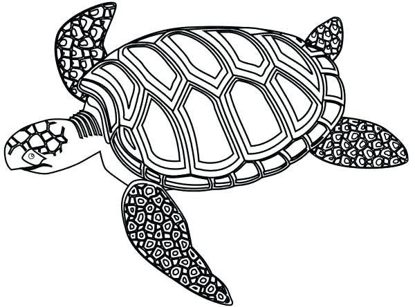 600x444 Baby Turtle Drawing