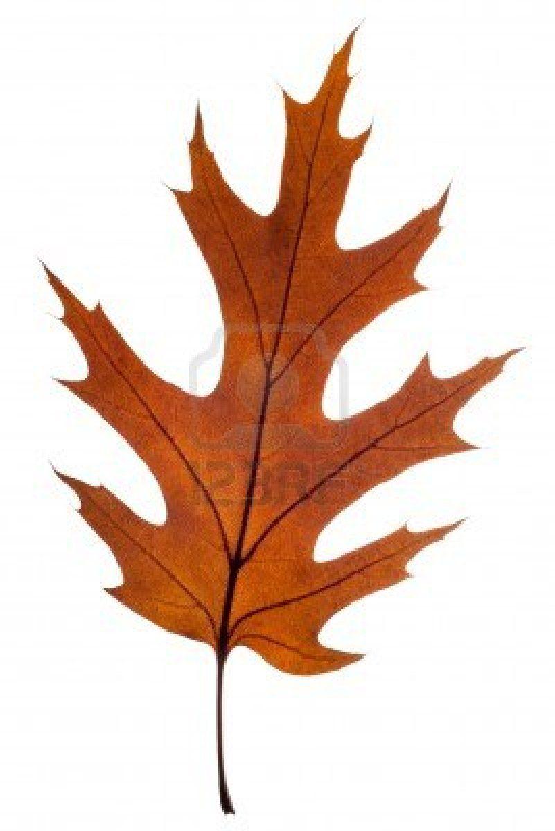 801x1200 stock photo oak reference oak leaf tattoos, red oak leaf, leaves