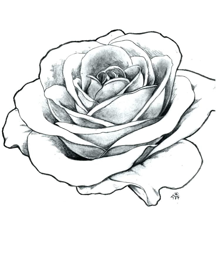 736x862 How To Draw Roses How To Sketch A Rose Draw Roses Tattoo