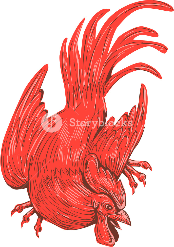 705x1000 Drawing Sketch Style Illustration Of A Chicken Rooster Crouching
