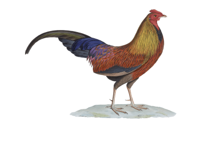 400x289 Download Free Png Rooster Drawing