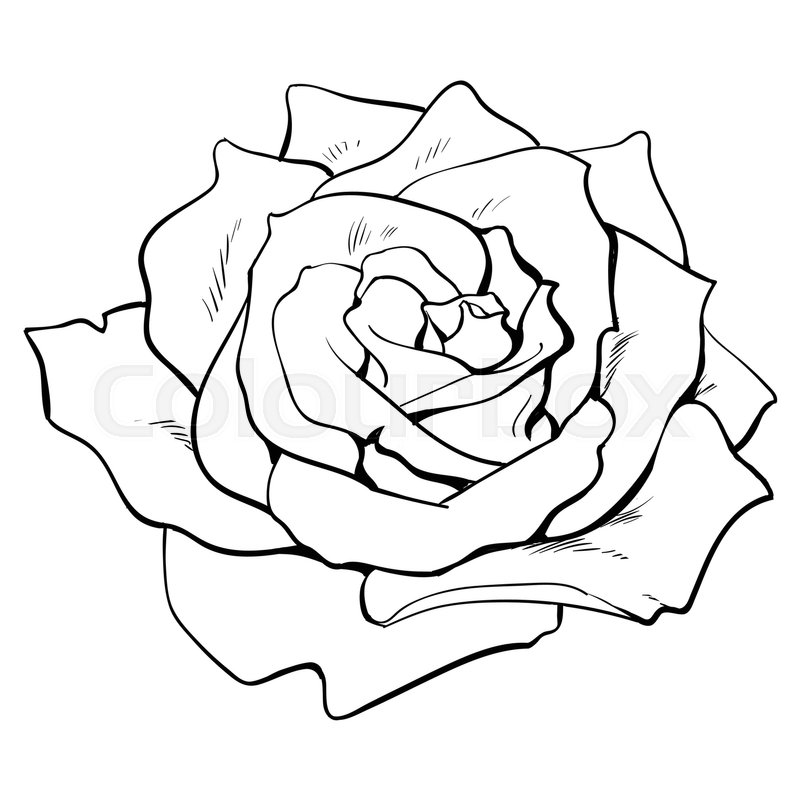 800x800 Deep Contour Rose Bud, Top View Sketch Stock Vector Colourbox