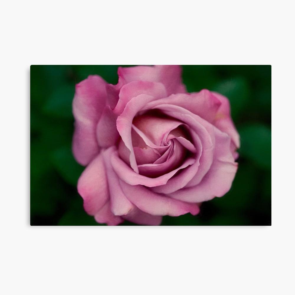 1000x1000 Pink Rose
