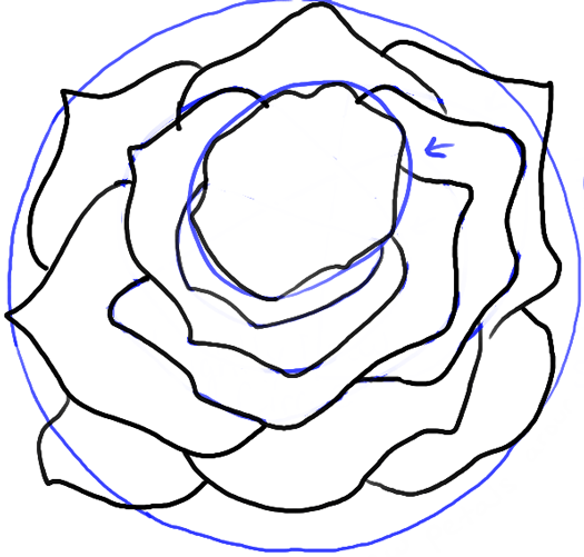 525x501 How To Draw Roses Opening In Full Bloom Step