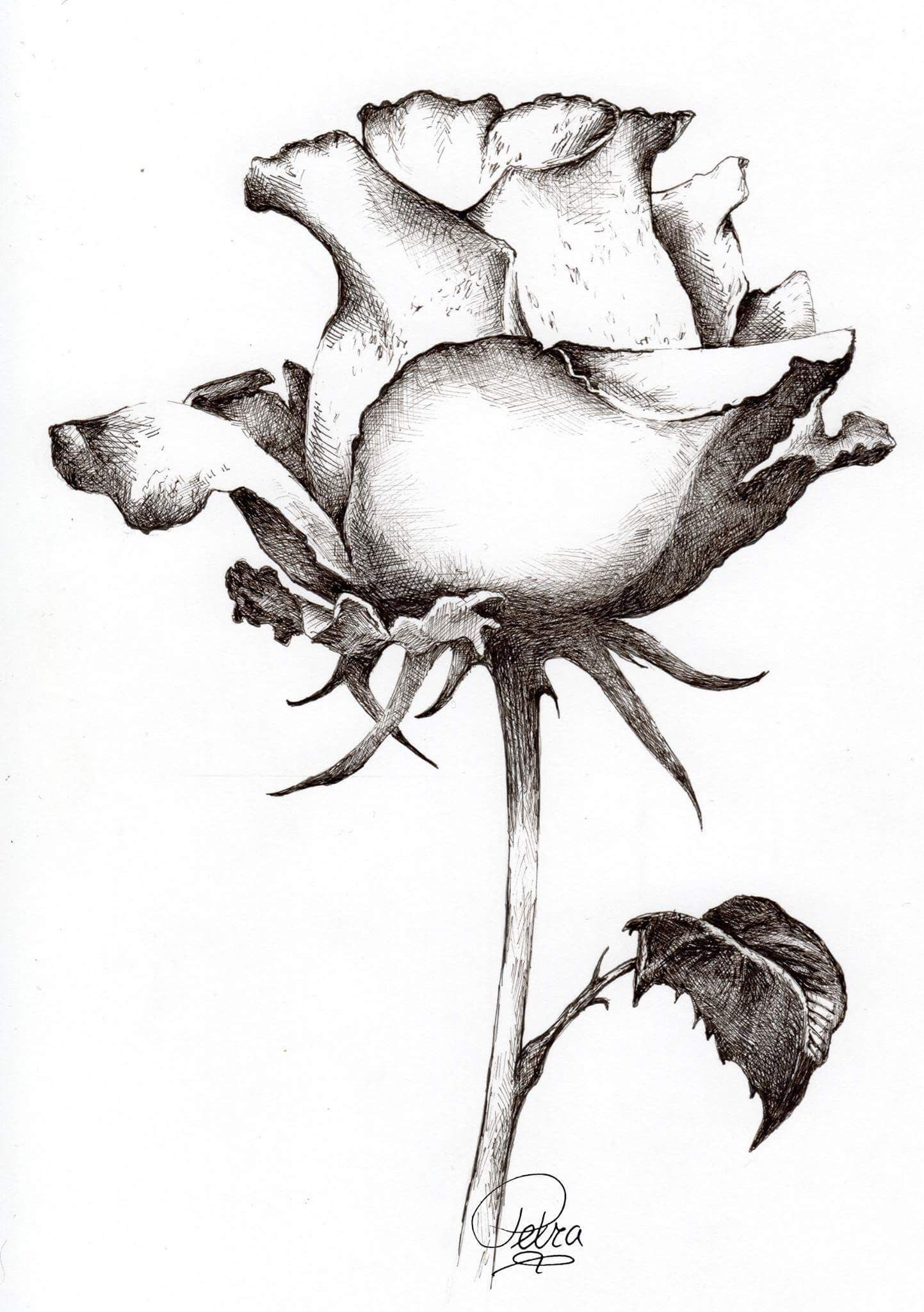 Rose flower pencil drawing free download best rose flower pencil
