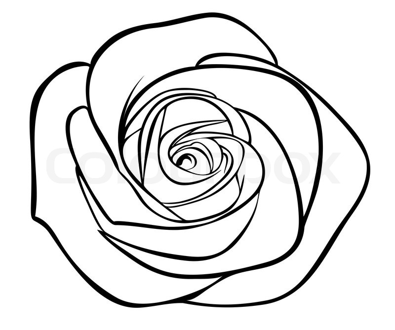 Rose Head Drawing