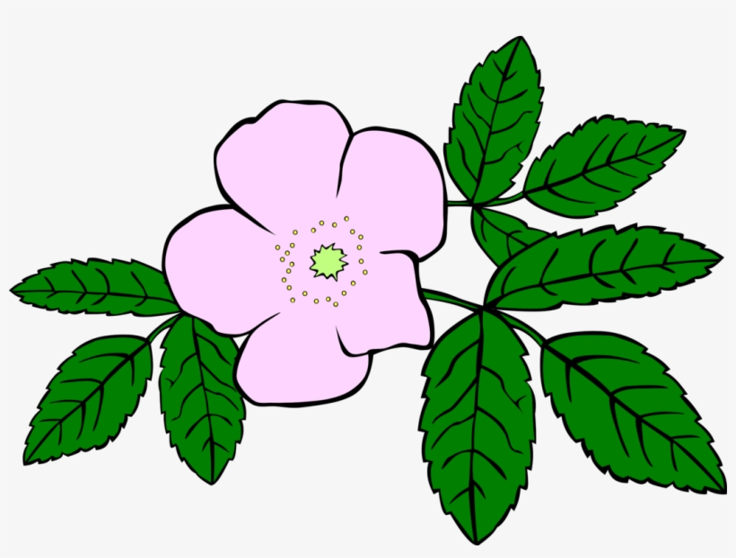 820x622 Prickly Wild Rose Drawing Download Flower Watercolor