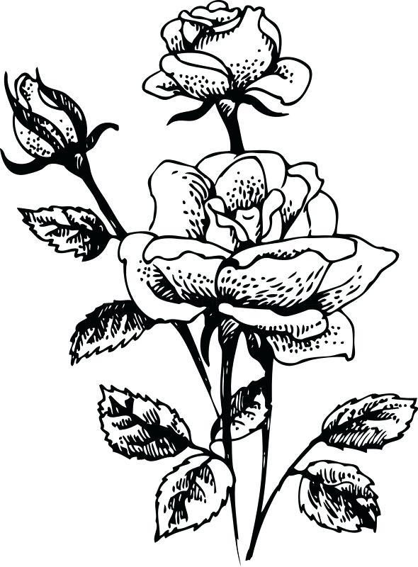 590x800 Rose Bush Clipart Rose Plant
