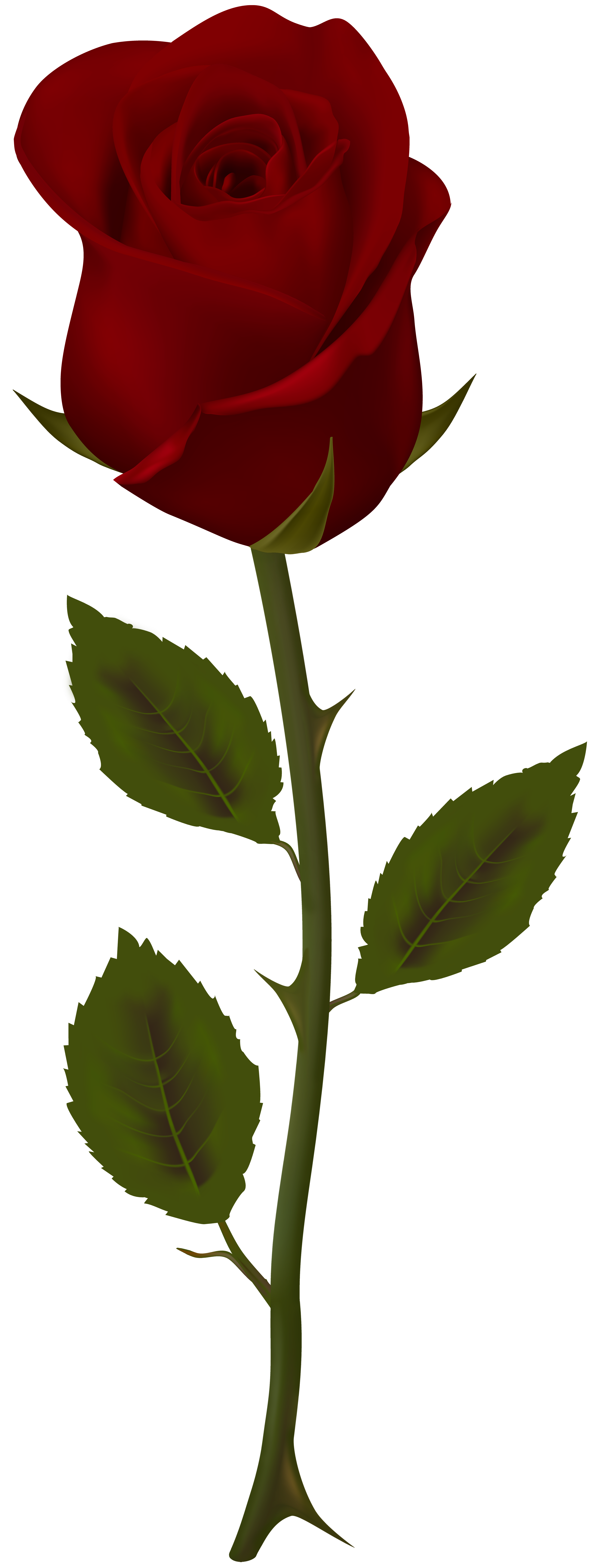 3057x8000 Collection Of Free Bush Drawing Roses Download On Ui Ex