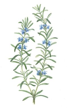 Rosemary Drawing | Free download best Rosemary Drawing on