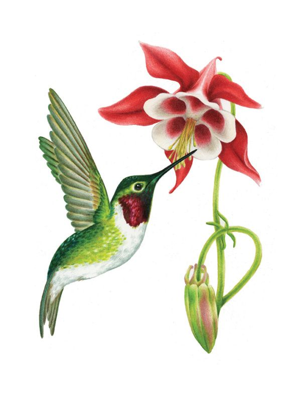 600x800 ruby throated hummingbird illustrations pencil wildlife