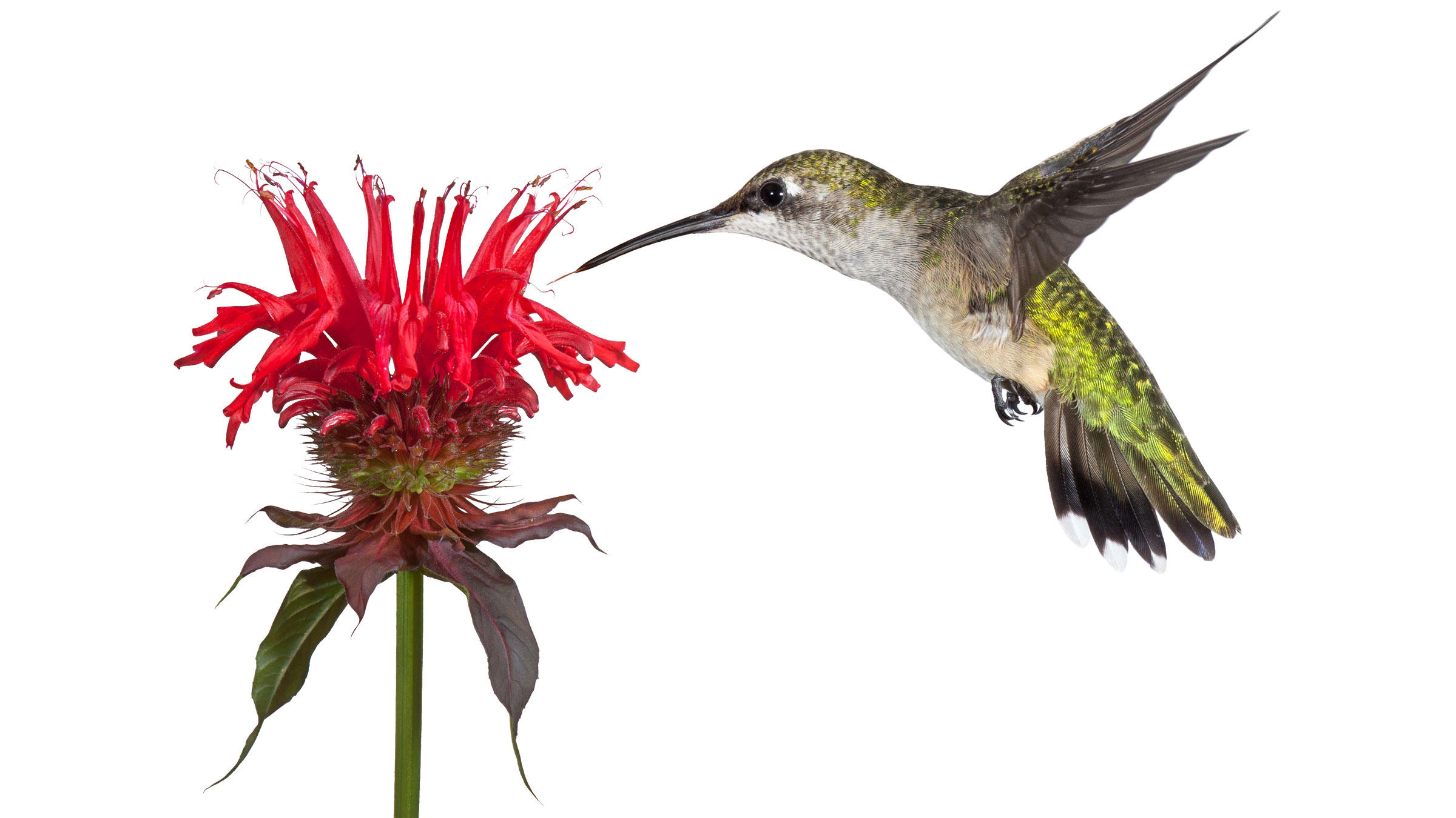2400x1350 The Audubon Guide To Attracting Hummingbirds And Orioles Audubon