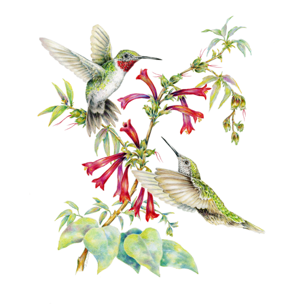 600x600 two ruby throated hummingbirds