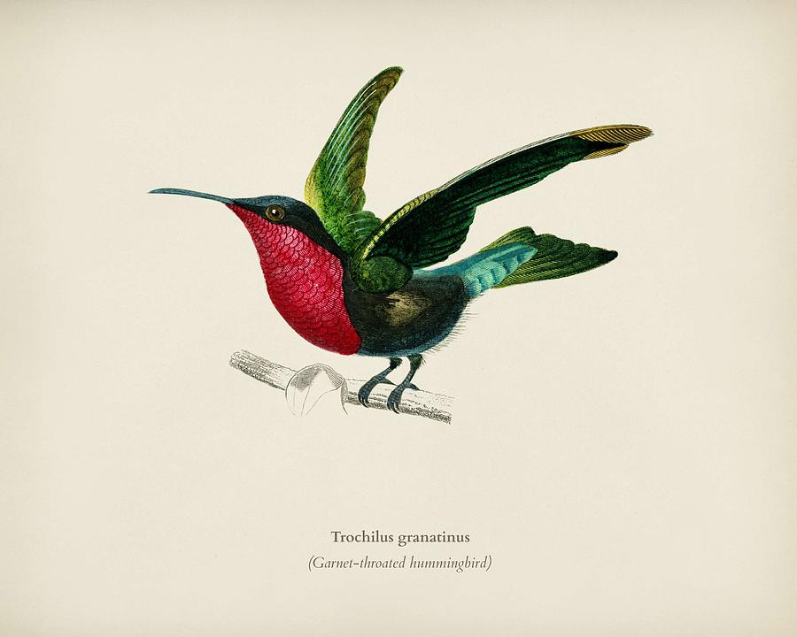 900x720 garnet throated hummingbird trochilus granatinus illustrated