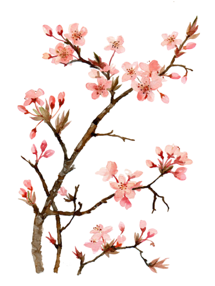 700x930 Drawing Japan Cherry Blossom Transparent Png Clipart Free