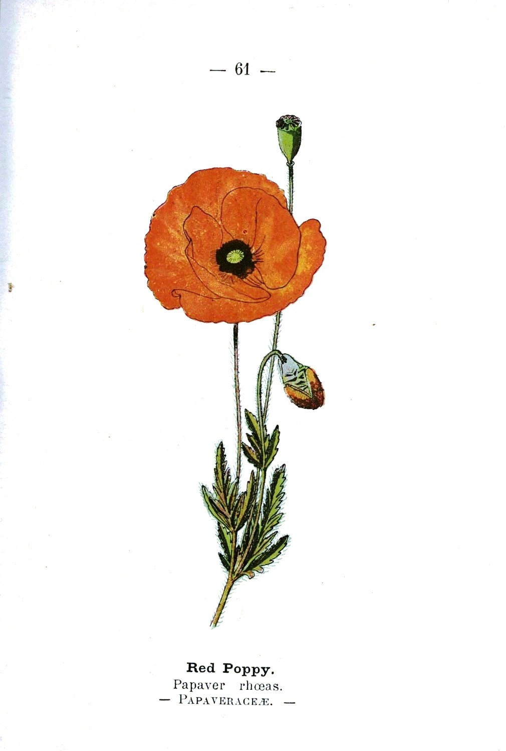 1010x1498 flower scientific drawing and flower scientific drawing poppy