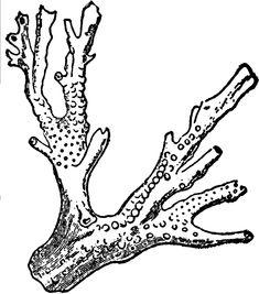 Sea Anemone Drawing