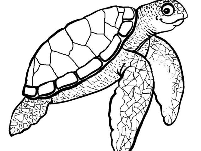 640x480 Drawn Sea Turtle Color