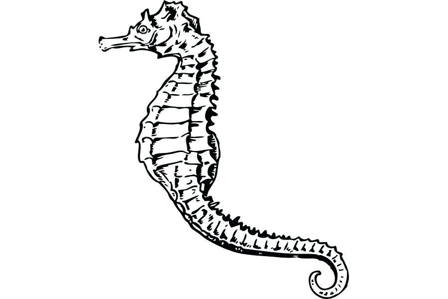 900x600 Seahorse Drawing Seahorse Drawing Realistic Zupa