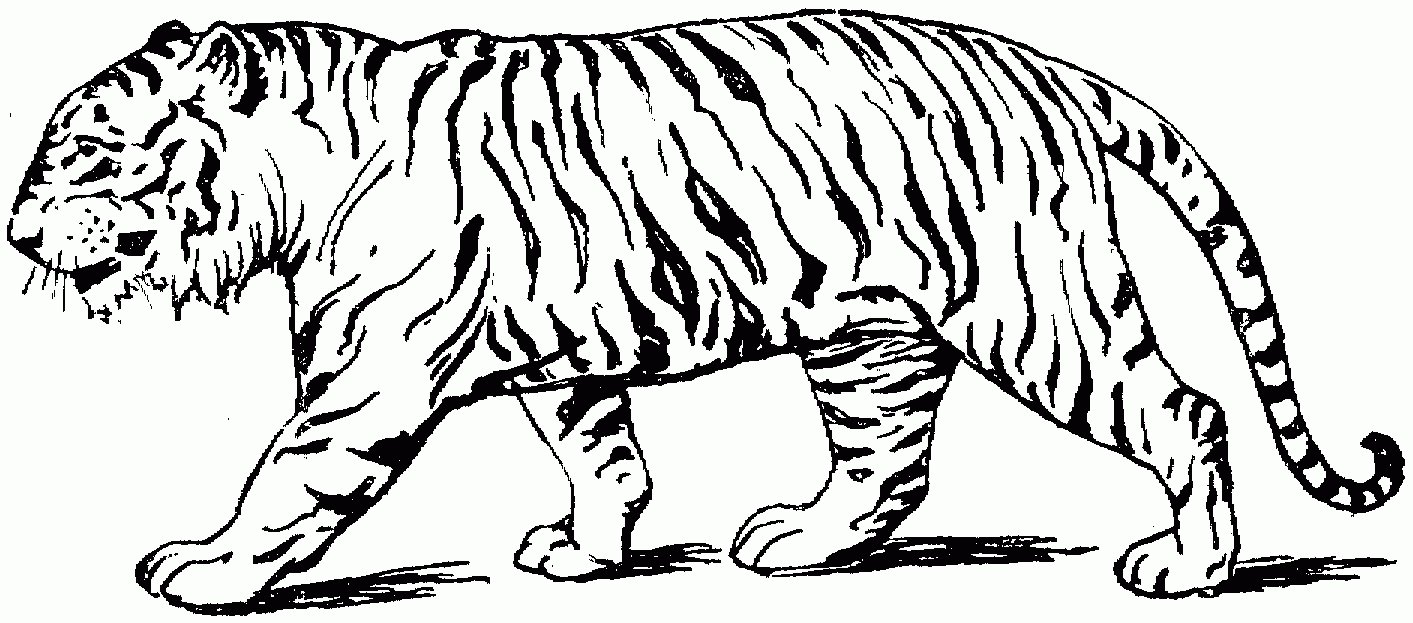 1413x623 Tiger Drawing Side View For Free Download