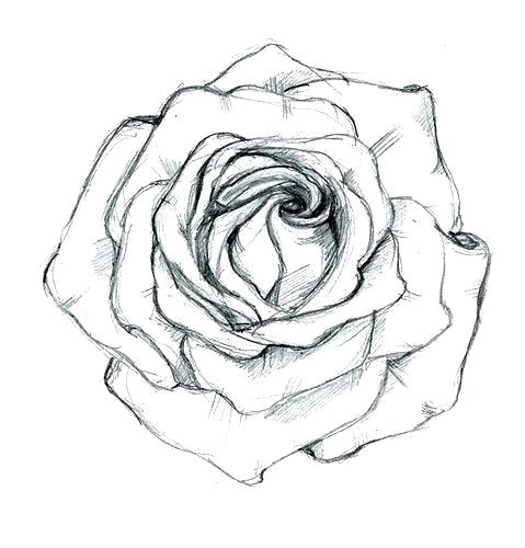 479x500 Rose Drawing Outline Rose Drawing Outline Free