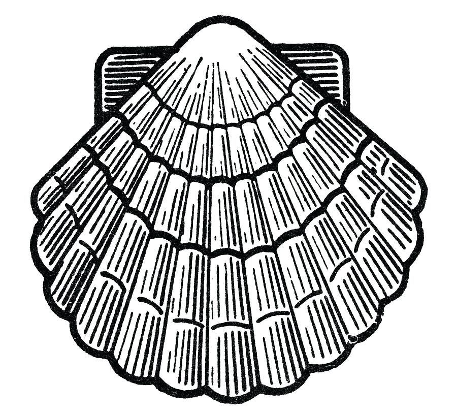 900x817 seashell drawing seashell seashell drawing easy
