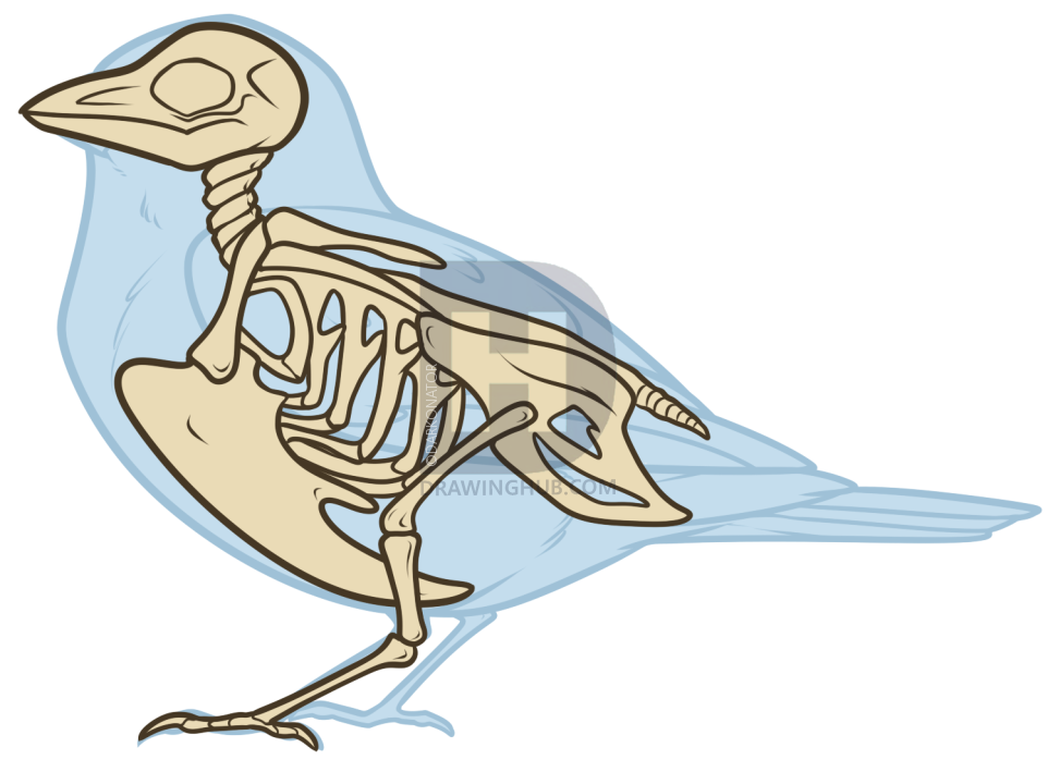 962x720 Bird Anatomy Drawing, Step