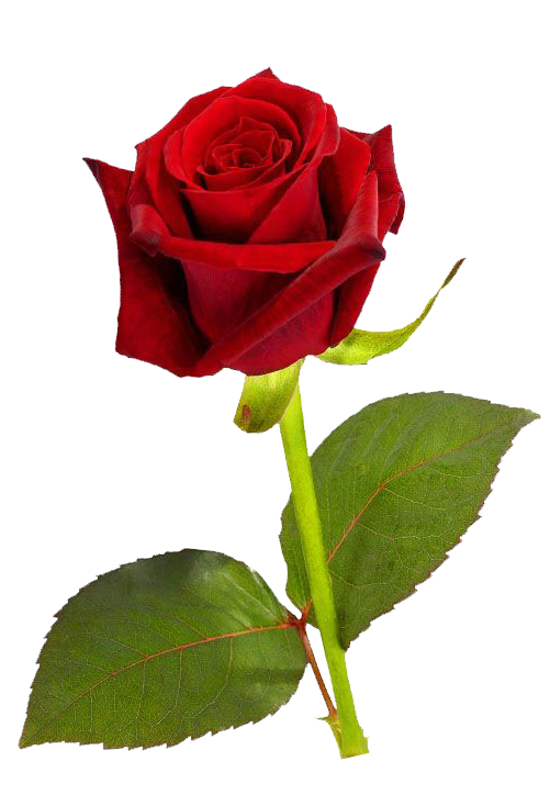 501x734 single red rose transparent image single red rose, red rose