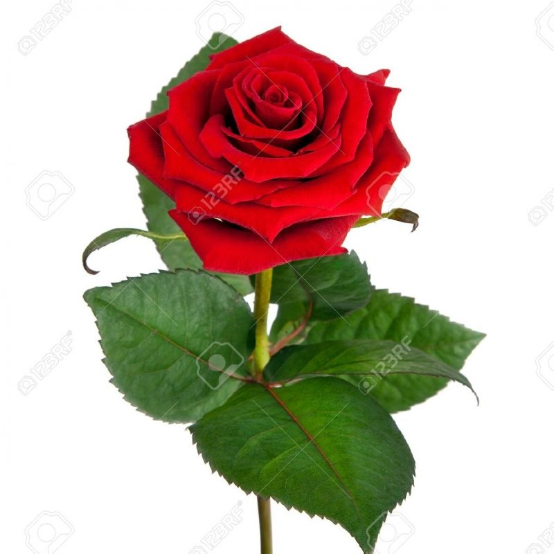 800x800 Most Popular Single Red Roses Images Full Hd For Pc