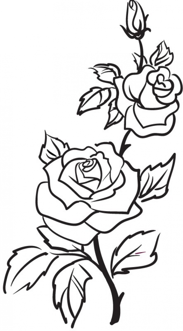 600x1083 Collection Of 'rose Plant Drawing' Download More Than Images