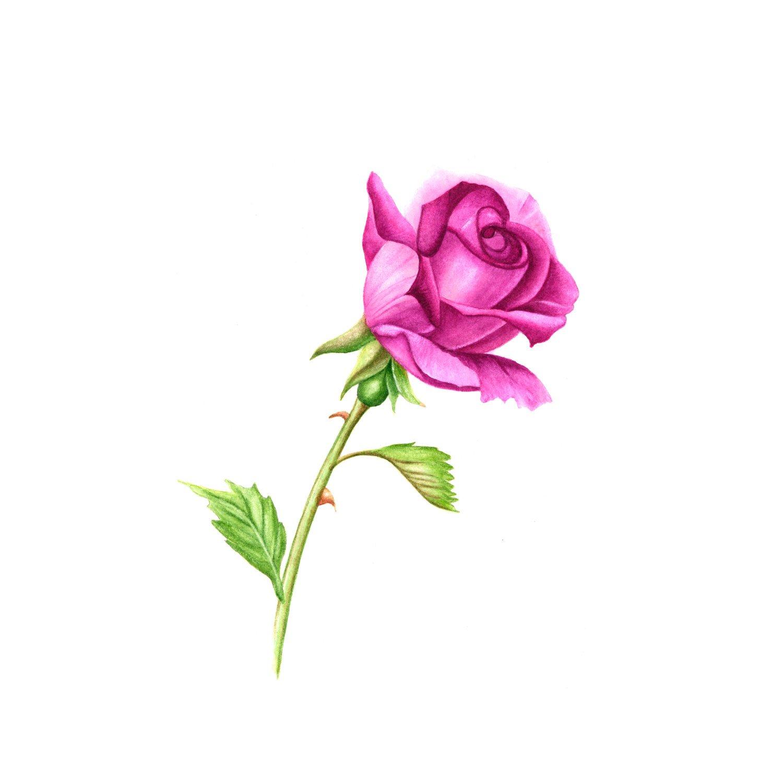 1500x1500 Lavender Mauve Single Stem Rose Watercolor Painting Etsy