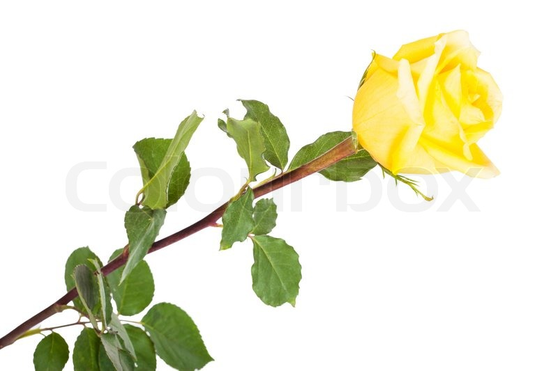 800x533 Yellow Rose Clipart Stem Drawing
