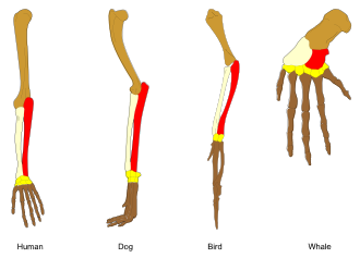330x237 Comparative Anatomy