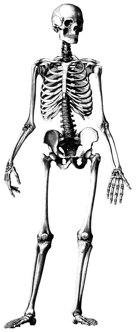 570x1387 Human Anatomy, Old Medical Atlas Illustration Digital Image