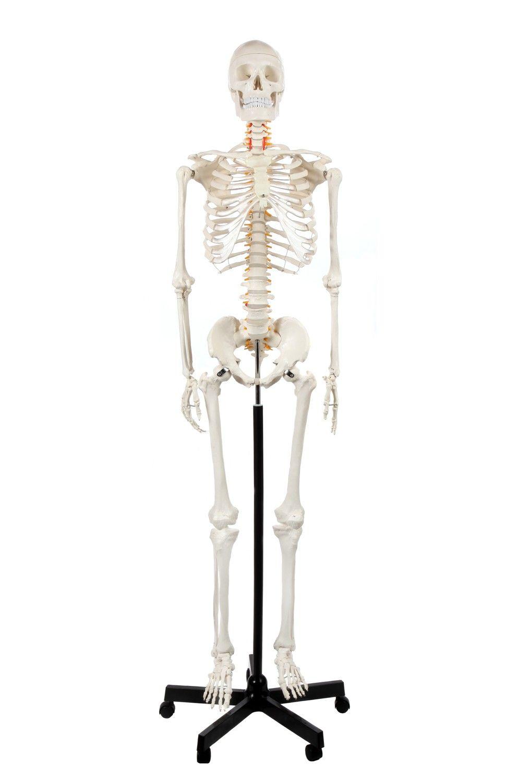 991x1500 human bones anatomy human bones anatomy anatomy skeleton classic