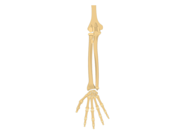 360x272 Skeletal System Anatomy Function