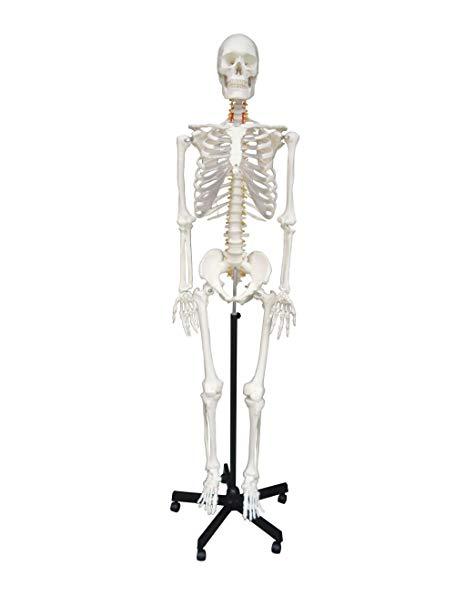 455x606 Wellden Medical Anatomical Human Skeleton Model, Life Size