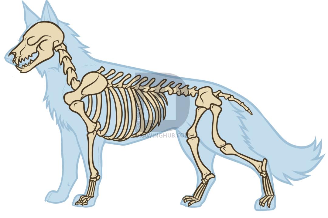 1080x719 Wolf Anatomy Drawing, Step
